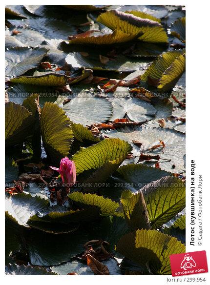 Лотос (кувшинка) на воде, фото № 299954, снято 26 сентября 2006 г. (c) Gagara / Фотобанк Лори