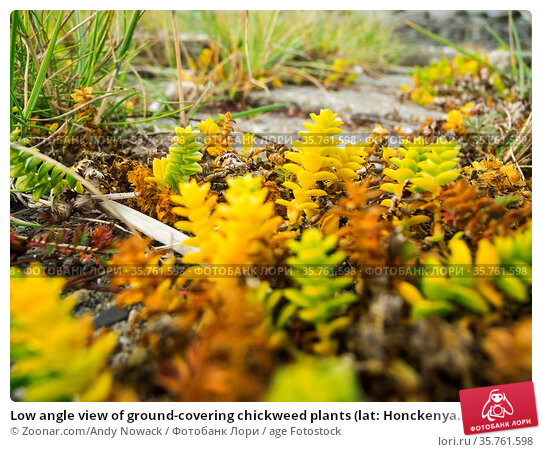 Low angle view of ground-covering chickweed plants (lat: Honckenya... Стоковое фото, фотограф Zoonar.com/Andy Nowack / age Fotostock / Фотобанк Лори