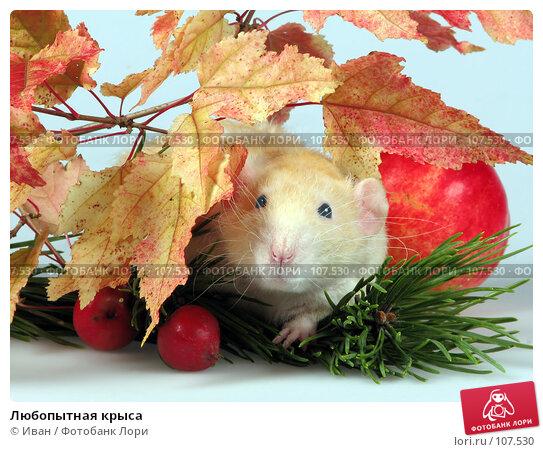 Любопытная крыса, фото № 107530, снято 23 сентября 2007 г. (c) Иван / Фотобанк Лори