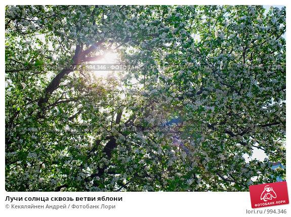 Лучи солнца сквозь ветви яблони, фото № 994346, снято 24 мая 2009 г. (c) Кекяляйнен Андрей / Фотобанк Лори