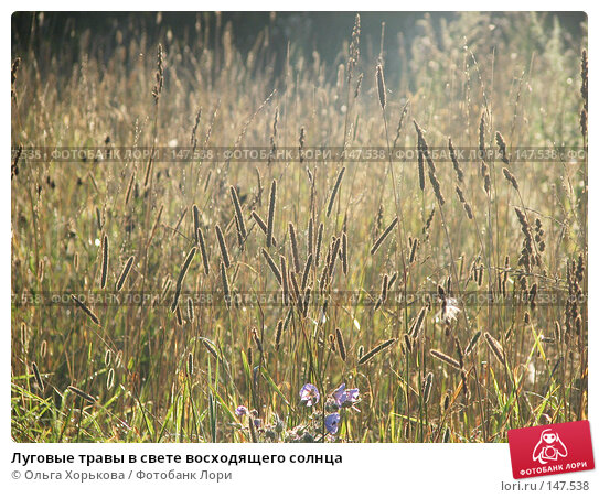 Купить «Луговые травы в свете восходящего солнца», фото № 147538, снято 8 августа 2007 г. (c) Ольга Хорькова / Фотобанк Лори