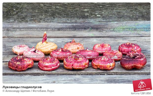 Луковицы гладиолусов, эксклюзивное фото № 281850, снято 11 мая 2008 г. (c) Александр Щепин / Фотобанк Лори