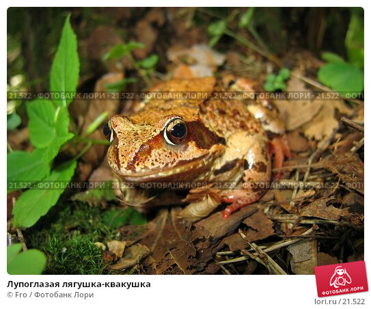 Лупоглазая лягушка-квакушка, фото № 21522, снято 30 июля 2005 г. (c) Fro / Фотобанк Лори