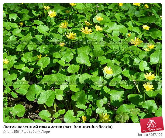 Лютик весенний или чистяк (лат. Ranunculus ficaria), эксклюзивное фото № 267102, снято 29 апреля 2008 г. (c) lana1501 / Фотобанк Лори