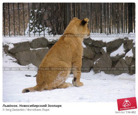 Львёнок. Новосибирский Зоопарк, фото № 134482, снято 7 ноября 2004 г. (c) Serg Zastavkin / Фотобанк Лори