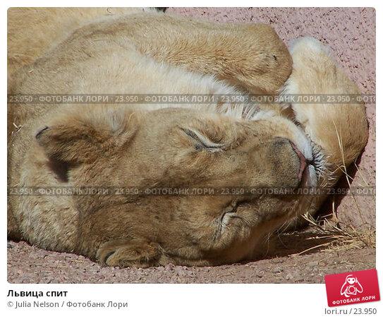 Львица спит, фото № 23950, снято 15 февраля 2007 г. (c) Julia Nelson / Фотобанк Лори