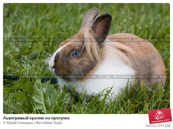 Купить «Львогривый кролик на прогулке», фото № 311230, снято 31 мая 2008 г. (c) Юрий Синицын / Фотобанк Лори