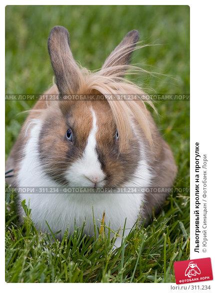 Купить «Львогривый кролик на прогулке», фото № 311234, снято 31 мая 2008 г. (c) Юрий Синицын / Фотобанк Лори