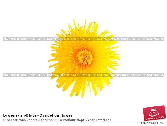 Löwenzahn-Blüte - Dandelion flower. Стоковое фото, фотограф Zoonar.com/Robert Biedermann / easy Fotostock / Фотобанк Лори