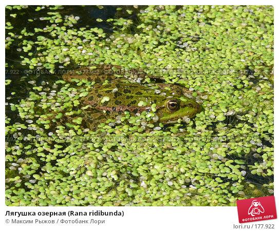 Лягушка озерная (Rana ridibunda), фото № 177922, снято 11 августа 2007 г. (c) Максим Рыжов / Фотобанк Лори
