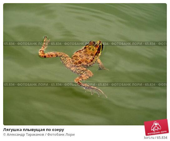 Лягушка плывущая по озеру, эксклюзивное фото № 65834, снято 17 августа 2017 г. (c) Александр Тараканов / Фотобанк Лори