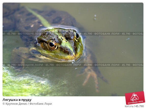 Купить «Лягушка в пруду», фото № 45790, снято 21 апреля 2007 г. (c) Крупнов Денис / Фотобанк Лори