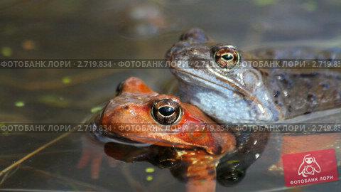 Купить «Лягушки в воде», видеоролик № 2719834, снято 20 июля 2019 г. (c) Алексас Кведорас / Фотобанк Лори