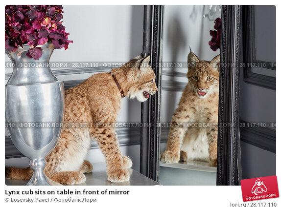 Купить «Lynx cub sits on table in front of mirror», фото № 28117110, снято 14 ноября 2015 г. (c) Losevsky Pavel / Фотобанк Лори