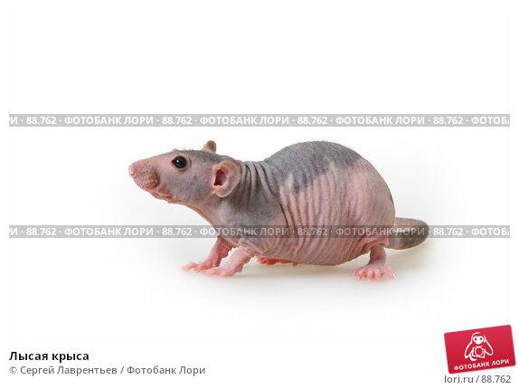 Лысая крыса, фото № 88762, снято 23 сентября 2007 г. (c) Сергей Лаврентьев / Фотобанк Лори