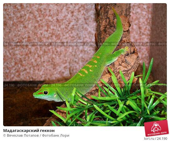 Мадагаскарский геккон, фото № 24190, снято 20 марта 2004 г. (c) Вячеслав Потапов / Фотобанк Лори