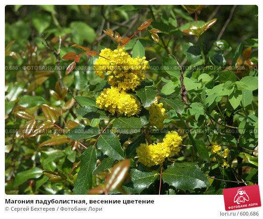 Купить «Магония падуболистная, весенние цветение», фото № 600686, снято 19 мая 2005 г. (c) Сергей Бехтерев / Фотобанк Лори