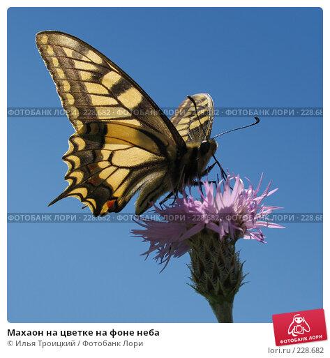 Махаон на цветке на фоне неба, фото № 228682, снято 8 июня 2005 г. (c) Илья Троицкий / Фотобанк Лори