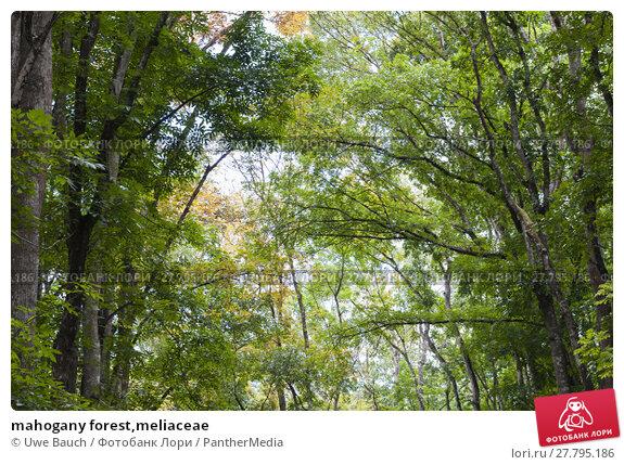Купить «mahogany forest,meliaceae», фото № 27795186, снято 22 октября 2018 г. (c) PantherMedia / Фотобанк Лори