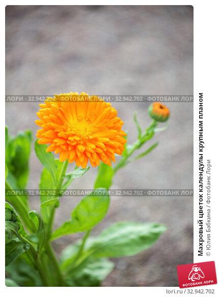 Купить «Махровый цветок календулы крупным планом», фото № 32942702, снято 12 июля 2018 г. (c) Юлия Бабкина / Фотобанк Лори