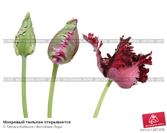 Купить «Махровый тюльпан открывается», фото № 267978, снято 21 марта 2018 г. (c) Tamara Kulikova / Фотобанк Лори
