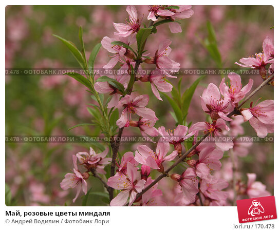 Май, розовые цветы миндаля, фото № 170478, снято 13 мая 2007 г. (c) Андрей Водилин / Фотобанк Лори