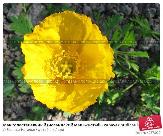 Мак голостебельный (исландский мак) желтый - Papaver nudicaule, фото № 287022, снято 22 июня 2006 г. (c) Беляева Наталья / Фотобанк Лори