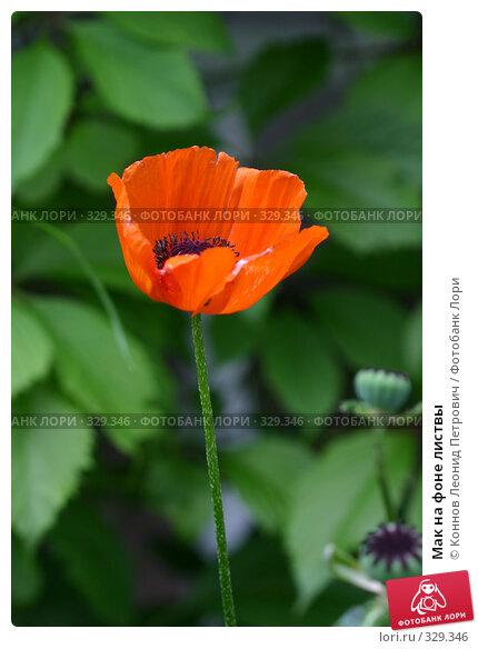 Мак на фоне листвы, фото № 329346, снято 20 июня 2008 г. (c) Коннов Леонид Петрович / Фотобанк Лори