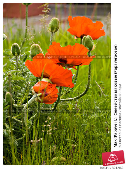 Мак (Papaver L). Семейство маковые (Раpaveraceae)., фото № 321962, снято 15 июня 2008 г. (c) Светлана Силецкая / Фотобанк Лори