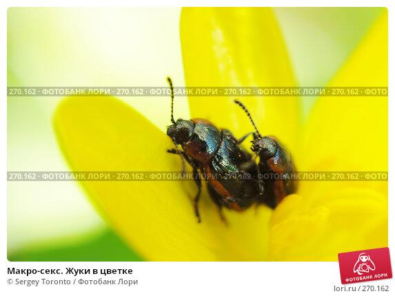 Макро-секс. Жуки в цветке, фото № 270162, снято 26 апреля 2008 г. (c) Sergey Toronto / Фотобанк Лори