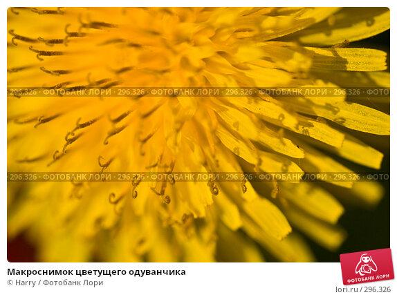 Купить «Макроснимок цветущего одуванчика», фото № 296326, снято 20 мая 2008 г. (c) Harry / Фотобанк Лори