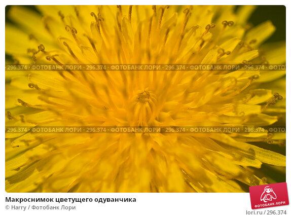 Макроснимок цветущего одуванчика, фото № 296374, снято 20 мая 2008 г. (c) Harry / Фотобанк Лори