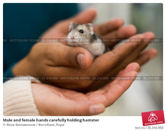 Male and female hands carefully holding hamster. Стоковое фото, фотограф Яков Филимонов / Фотобанк Лори