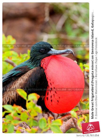 Male Great Frigatebird (Fregata minor) on Genovesa Island, Galapagos... Стоковое фото, фотограф Zoonar.com/Don Mammoser / age Fotostock / Фотобанк Лори