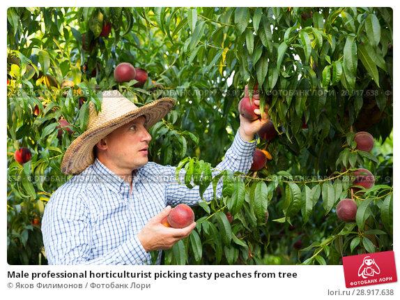 Купить «Male professional horticulturist picking tasty peaches from tree», фото № 28917638, снято 11 июля 2018 г. (c) Яков Филимонов / Фотобанк Лори
