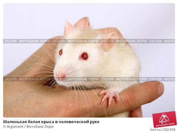 Маленькая белая крыса в человеческой руке, фото № 232010, снято 20 марта 2008 г. (c) Argument / Фотобанк Лори