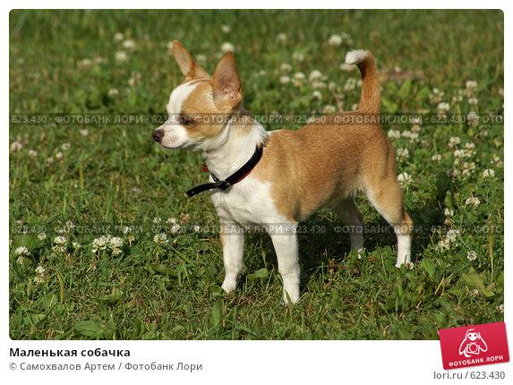 Купить «Маленькая собачка», фото № 623430, снято 13 июля 2008 г. (c) Самохвалов Артем / Фотобанк Лори
