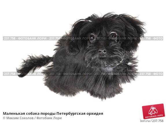 Купить «Маленькая собака породы Петербургская орхидея», фото № 237758, снято 30 марта 2008 г. (c) Максим Соколов / Фотобанк Лори
