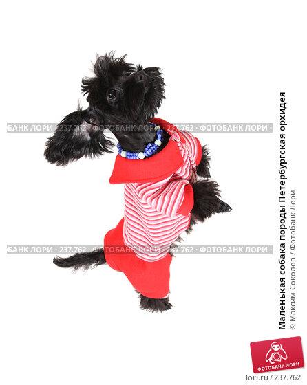 Купить «Маленькая собака породы Петербургская орхидея», фото № 237762, снято 30 марта 2008 г. (c) Максим Соколов / Фотобанк Лори