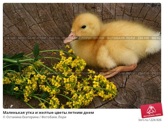 Маленькая утка и желтые цветы летним днем, фото № 224926, снято 26 мая 2007 г. (c) Останина Екатерина / Фотобанк Лори