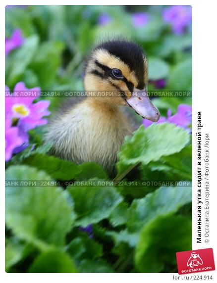 Маленькая утка сидит в зеленой траве, фото № 224914, снято 26 мая 2007 г. (c) Останина Екатерина / Фотобанк Лори