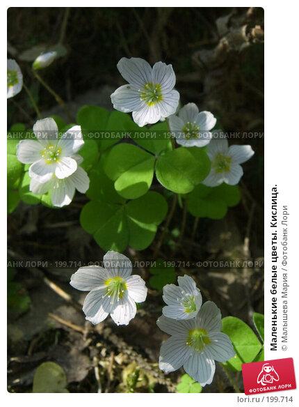 Маленькие белые цветы. Кислица., фото № 199714, снято 26 мая 2007 г. (c) Малышева Мария / Фотобанк Лори
