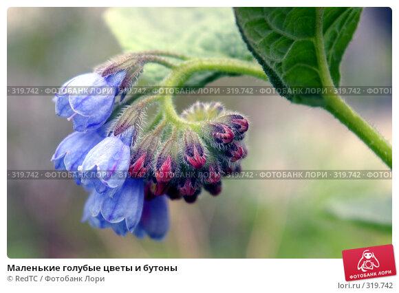 Маленькие голубые цветы и бутоны, фото № 319742, снято 11 июня 2008 г. (c) RedTC / Фотобанк Лори