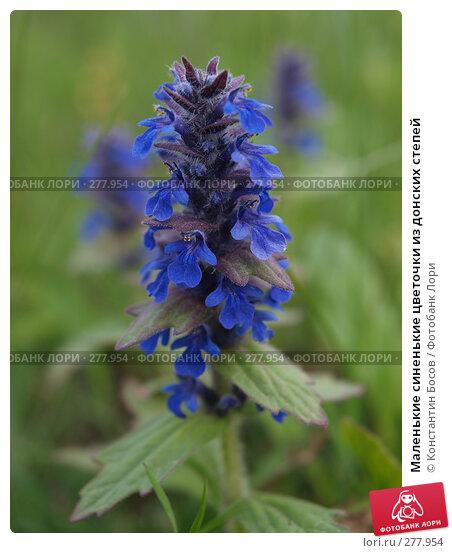 Маленькие синенькие цветочки из донских степей, фото № 277954, снято 29 мая 2017 г. (c) Константин Босов / Фотобанк Лори