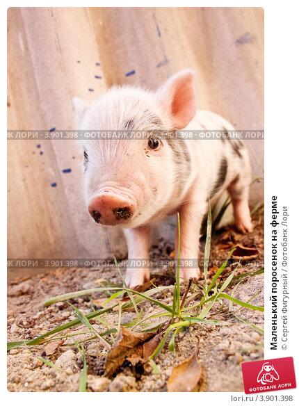 Купить «Маленький поросенок на ферме», фото № 3901398, снято 18 сентября 2011 г. (c) Сергей Фигурный / Фотобанк Лори