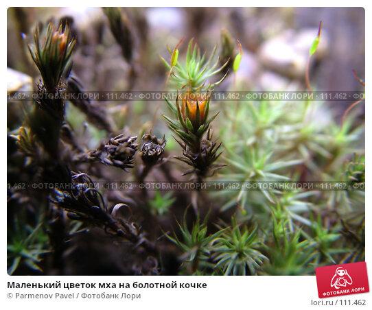 Купить «Маленький цветок мха на болотной кочке», фото № 111462, снято 30 апреля 2007 г. (c) Parmenov Pavel / Фотобанк Лори