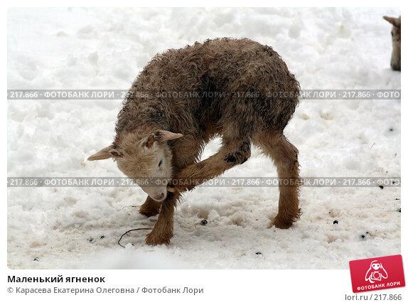 Маленький ягненок, фото № 217866, снято 7 февраля 2008 г. (c) Карасева Екатерина Олеговна / Фотобанк Лори