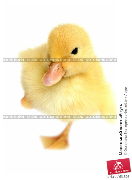 Маленький желтый гусь, фото № 63526, снято 23 мая 2007 г. (c) Останина Екатерина / Фотобанк Лори