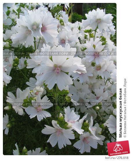 Купить «Мальва мускусная белая», фото № 276018, снято 13 июля 2006 г. (c) Беляева Наталья / Фотобанк Лори