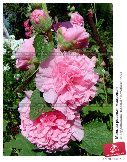 Мальва розовая махровая, фото № 131710, снято 19 августа 2007 г. (c) Кардаполова Наталья / Фотобанк Лори